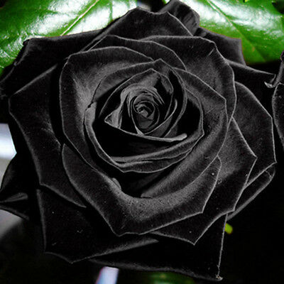 100Pcs Mysterious Rare Black Rose Flower Plant Seeds Garden Home New
