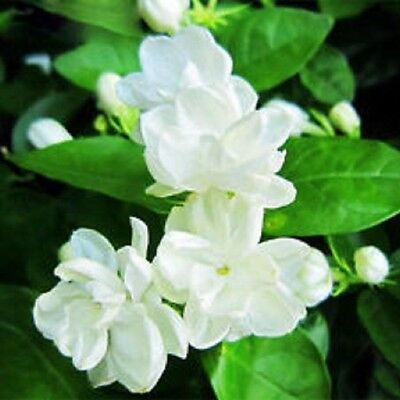 CHINESE EMPEROR Jasminum sambac very fragrant flowers hedging plant in 140mm pot