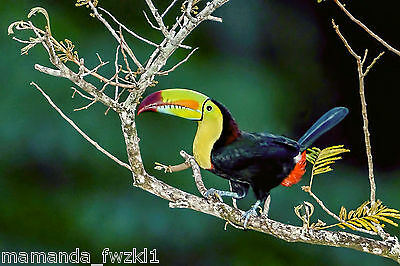 New keeled billed toucan in tree find food