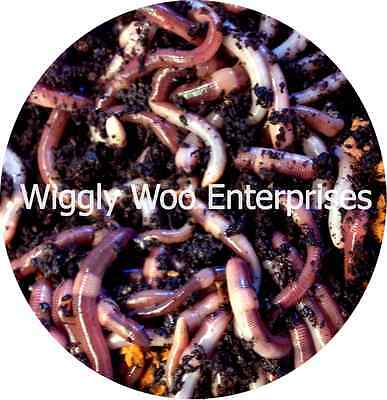 Dendrobaena Live Fishing Worms LARGE 350g Compost Reptile food, Amphibian food