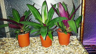 Indoor house plant-moses in the cradle plant x 3 potted plants