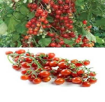 sweet million  cherry  tomatoe fruit  20 quality seeds  garden viable  pack