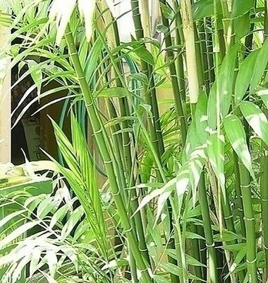 BAMBOO PALM Chamaedorea seifrizii graceful tropical shade plant in 200mm pot