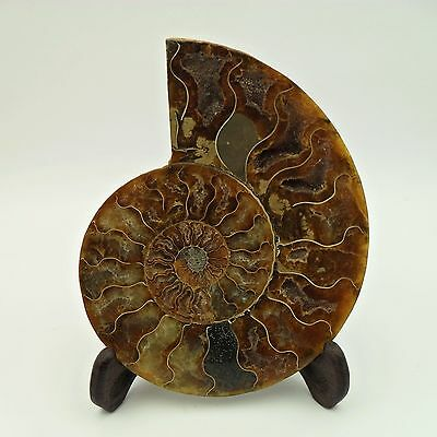 Large - Ammonite Fossil Cut And Polished To See Inside Crystallized Chambers 10