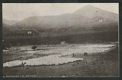 k1735)    EARLY 1900's GRAPHIC AUSTRALIA  POSTCARD: MUSTERING FOR SHEARING