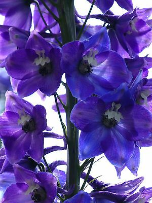 royal blue delphinium +40 seeds hardy cottage garden perennial