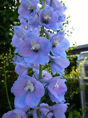 Dazzling Bright Light Blue Delphinium fresh seeds 40+ Hardy Perennial