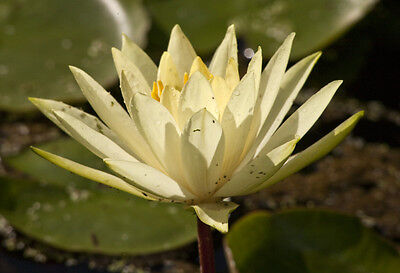 Colonel A J Welch water lily Pond plants water lilies koi aquatic plants