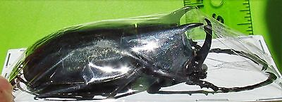 Lot of 10 Giant Rhino Beetle Male Chalcosoma caucasus 70-75 mm FAST FROM USA