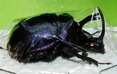 Purple Earth-Boring Scarab Beetle Pair Enoplotrupes sharpi FAST SHIP FROM USA