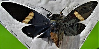 Magnificent Large Asian Cicada Tosena depicta Spread  FAST SHIP FROM USA