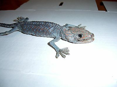 Tokay Gecko Lizard Gekko gecko Taxidermy Lizard Adult  in Natural Display