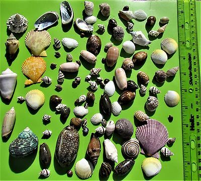 Lot of 100 Amazingly Beautiful Assorted Asian Sea Shells FAST SHIP FROM USA