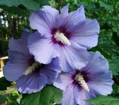 Hibiscus Syriacus Single Purple Flower x1 young plant/seedling Not for NT