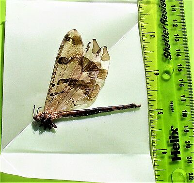 Uncommon Black & White Owlfly Ascalaphidae sp.Folded/Papered FAST SHIP FROM USA