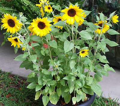 35 Seeds Sunflower Dwarf Sunspot Yellow core Black / Flowers