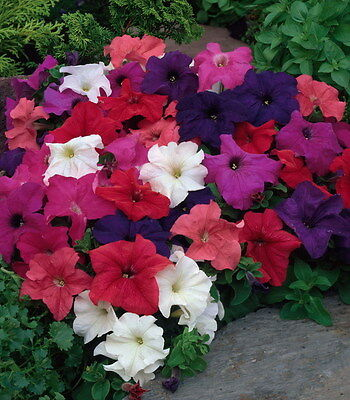 0.1g (approx. 800) large flowered basket petunia seeds PETUNIA GRANDIFLORA mixed