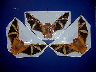 Bat Taxidermy Kerivoula picta Wholesale 3  in Natural Flying Position Display