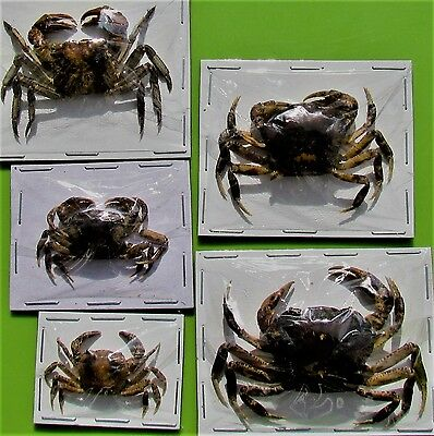 One Asian Freshwater Crab Parathelphusa convexa Dried FAST SHIP FROM USA
