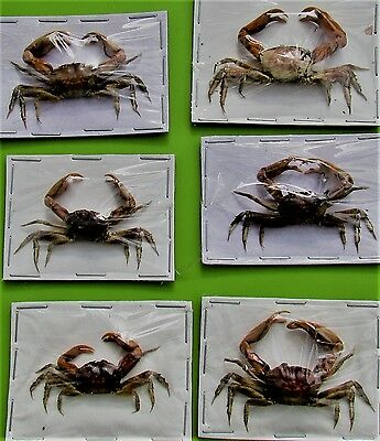 One Javan Red Claw Sand Crab Dried Great for Crafts FAST SHIP FROM USA