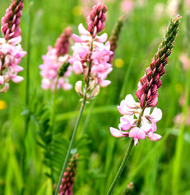 200 Seeds of Sainfoin / Esparcette Cultivated / Onobrychis Viciifolia