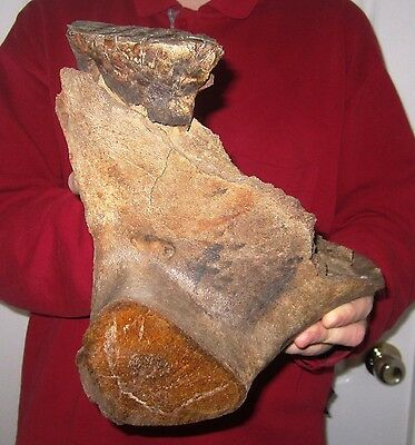 Impressive Lower Jaw with Tooth of a Woolly Mammoth FOSSIL Pleistocene