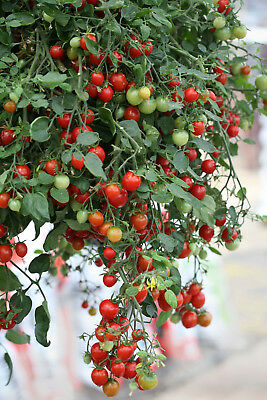 8 Seeds of TOMATO CHERRY Thumbler / Tumbler DWARF POTTED EARLY