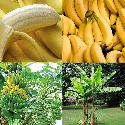 Hot 100PCS/Pake Banana Seeds Musa Taste Delicious Fruit Tree Home Garden Plants