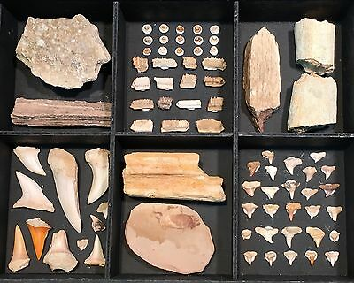 FSB#3 - Fossil Collection from California: Assorted Shark Teeth, Bones & More