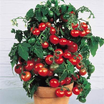 24 Seeds BIO of TOMATO CHERRY TINY TIM DWARF POTTED EARLY