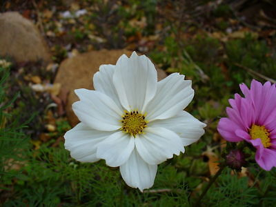 300 Seeds of COSMOS PURITY WHITE / Beautiful Flower Cut