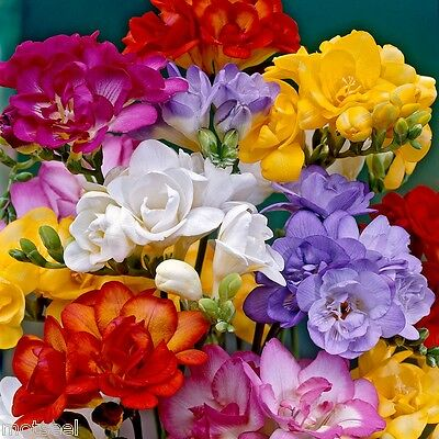 12,25,50,75,100. mixed freesias/yellow,summer flowering favourite bulb