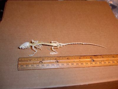 Taxidermy Mus musculus  Adult Full Skeleton Display Taxidermy House mouse
