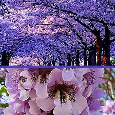 0.4 g about 1300 hardy fast growing Paulownia 9501 Pao Tong empress tree seeds