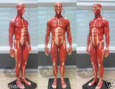 New High quality PU 1:6 human muscle system anatomy teaching medical model male