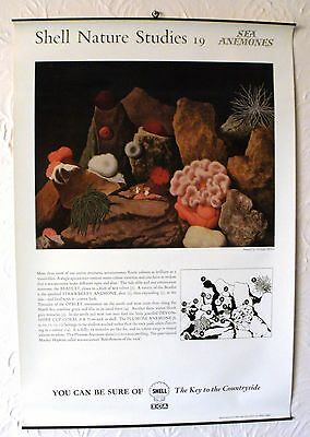 RARE Shell Nature Studies Sea Anemones Original Vintage 1950s Poster Educational