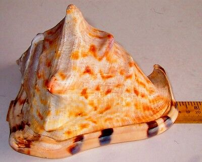 Large Real Seashell Tiger Stripe Queen Conch Shell Nautical Sea Ocean Beach 7""