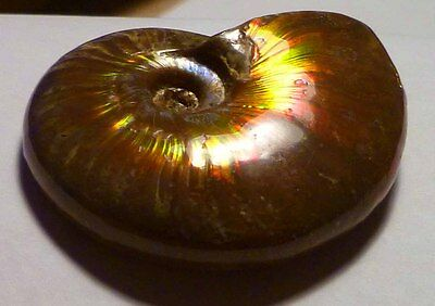 A+ 49mm GREEN RED! AMMOLITE AMMONITE FOSSIL 175cts Cleoniceras Species
