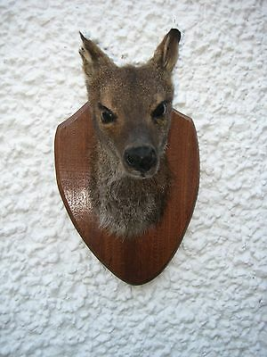 New Taxidermy Bennett's Wallaby Head Mounted