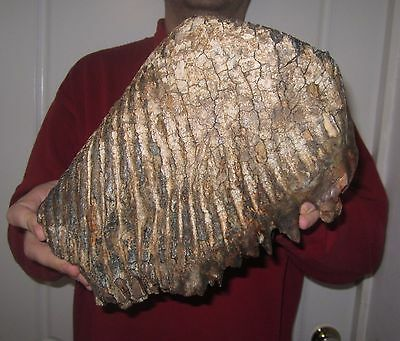 Impressive Great Tooth of a Woolly Mammoth FOSSIL Pleistocene SUPER BIG for sale