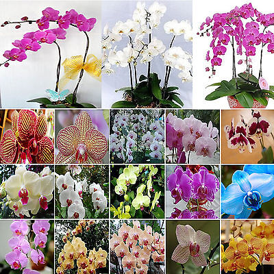 Newly 20Pcs Yellow Purple Phalaenopsis Moth Orchid Flower Seed Organically Grown