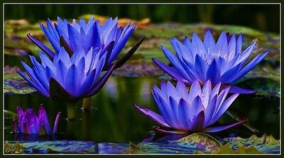 blue water lily Pond plants water lilies koi aquatic plants fish