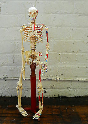 60Cm Tall High Quality Resin Skeleton Anatomical Teaching Model