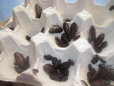 Madagascan Hissing Cockroach 20 x Mixed size nymphs