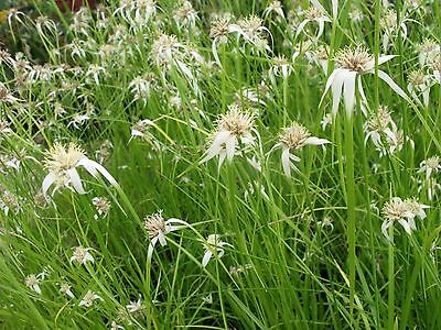 White Star Sedge, RARE & very unusual - healthy pond / water plant
