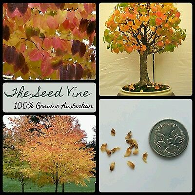 10+ KATSURA TREE SEEDS (Cercidiphyllum japonicum) Bonsai Autumn Japan