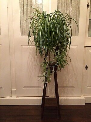 Large Healthy Mature Spider Plant with Lots of Babies