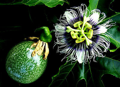 35 Seeds Fruit of the Passion / Passiflora Edulis / Edible