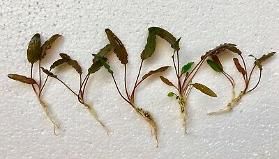 10 x Live Aquarium Aquatic Plants ROOTED RED/BROWN CRYPTOCORYNE WENDTII small