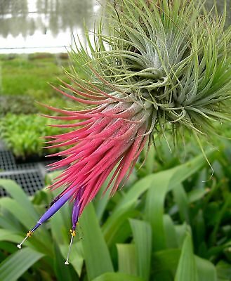 Bromeliad tillandsia collection of 5 different (Pack-2)